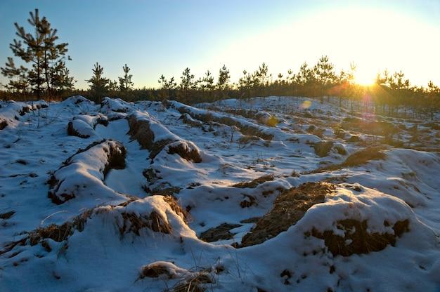 Kleine donzige sneeuwsparren groeien bij zonsondergang