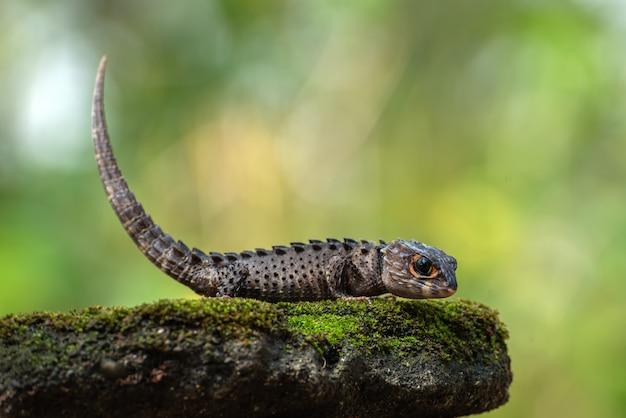 Kleine draak uit oost-indonesië, krokodilskinken