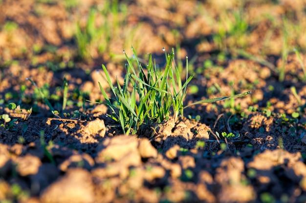 Kleine druppels water op het groene gras van tarwe na smeltend ijs en vorst tijdens de dooi