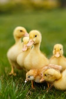 Kleine eendjes en kippen op groen gazon,