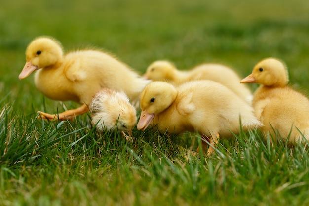 Kleine eendjes en kippen op groen gazon.