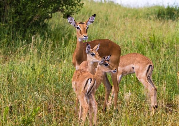 Kleine familie impala's. tarangire, tanzania