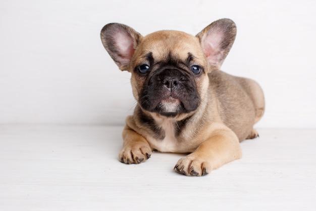 Kleine franse bulldog pup ligt