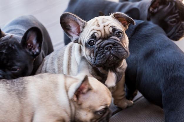 Kleine franse bulldog pup