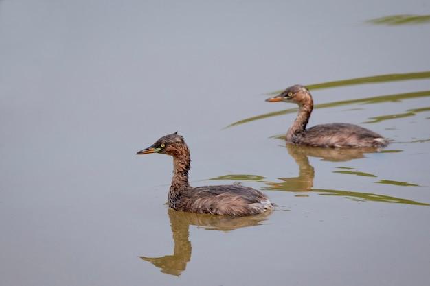 Kleine futen met reflectie waden op het water