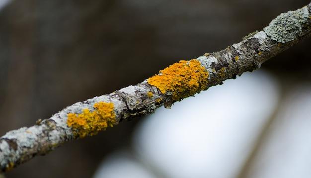 Kleine gedroogde stick met geel korstmos