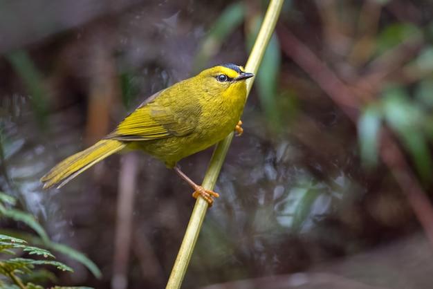 Kleine gele grasmus zat op een tak