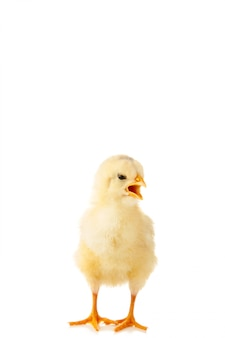 Kleine gele kip met open mond geïsoleerd op de witte achtergrond