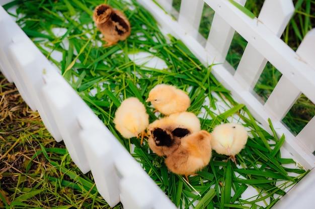 Kleine gele kippen in een witte houten paddock