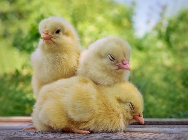 Kleine gele schattige baby kuikens.
