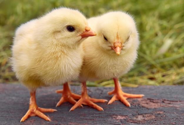 Kleine gele schattige babykuikens.