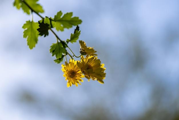 Kleine gele wilde chrysanten in het park