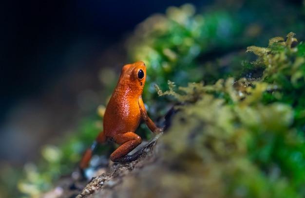 Kleine geponeerde rode kikker op een nat rotswoud