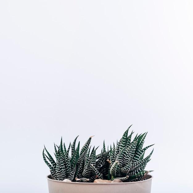 Kleine gestreepte cactusinstallatie in ingemaakte die installatie op witte achtergrond wordt geïsoleerd