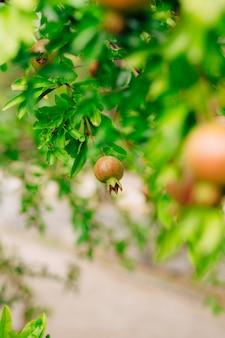 Kleine granaatappels aan de boom
