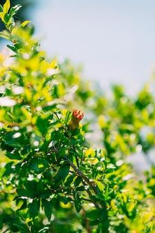 Kleine granaatappels op de boom in de granaatappelboom van montenegro