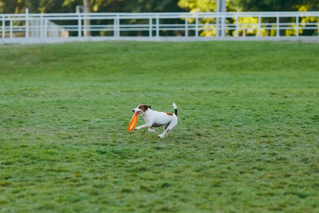 Kleine grappige hond die oranje vliegende schijf op het groene gras vangt. kleine jack russel terrier huisdier buiten spelen in het park. hond en speelgoed op open lucht.