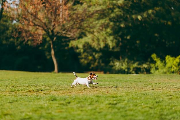 Kleine grappige hond op het groene gras tegen bomen. kleine jack russel terrier huisdier buiten spelen in het park. hond en speelgoed op open lucht.