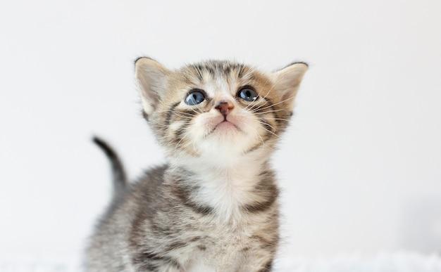 Kleine grijze kat geïsoleerd op wit