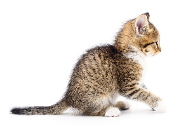 Kleine grijze kitten geïsoleerd