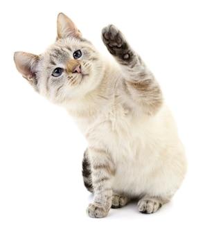 Kleine grijze kitten op een witte achtergrond