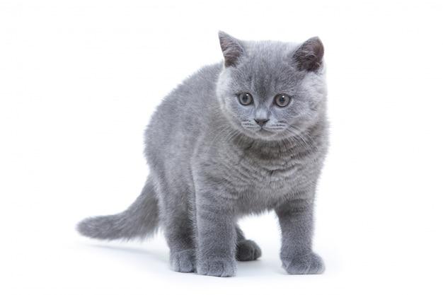 Kleine grijze kitten