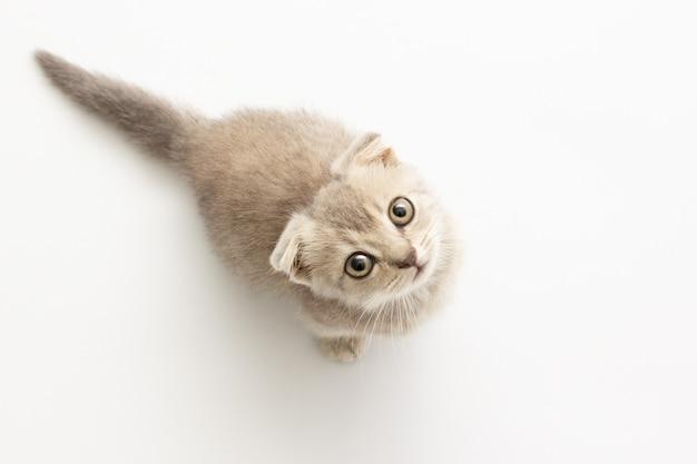 Kleine grijze strook een kitten zit en kijkt omhoog. geïsoleerd op een witte achtergrond.
