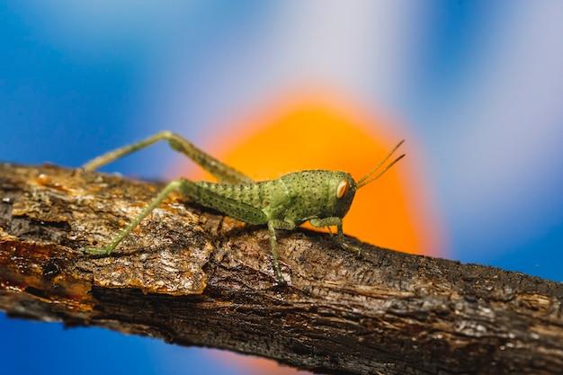 Kleine groene cricket op tak, macro van vrijgesteld