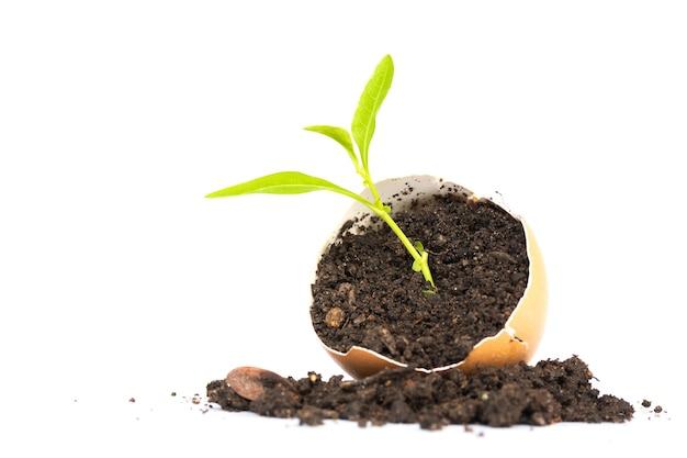 Kleine groene plant groeit in eierschaal op witte achtergrond. concept van nieuw leven