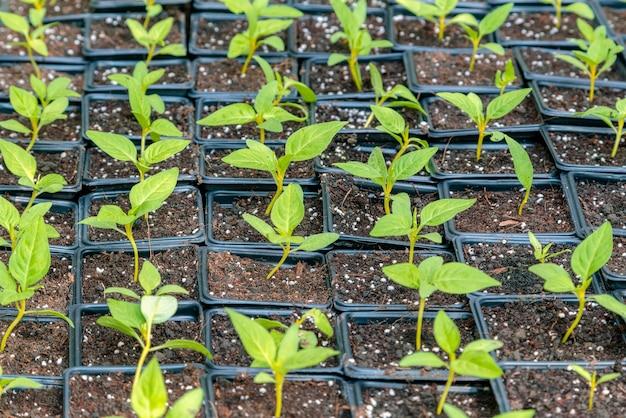 Kleine groene plantjes klaar om in de volle grond geplant te worden.