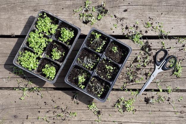 Kleine groene tabak zaailing in plastic potten en schaar op rustieke houten tafel