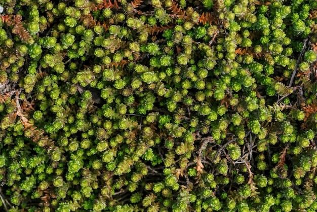 Kleine groene vetplanten bedekt terrein.