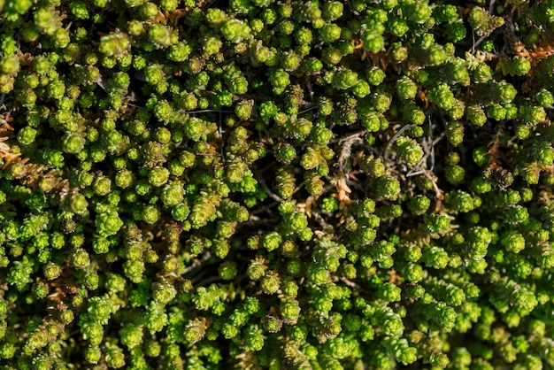 Kleine groene vetplanten bedekte grond