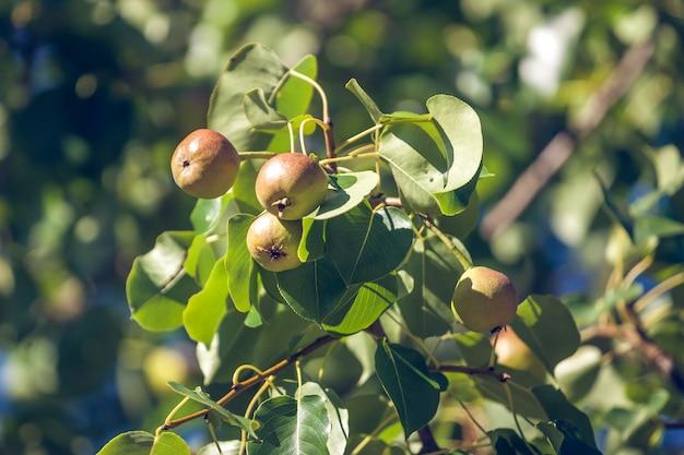 Kleine groene vrucht van een perenboom groeit in de tuin.