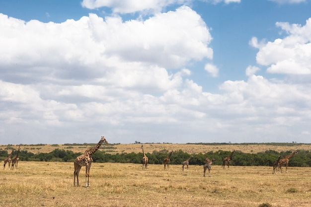 Kleine groep masai-giraffen in de savanne