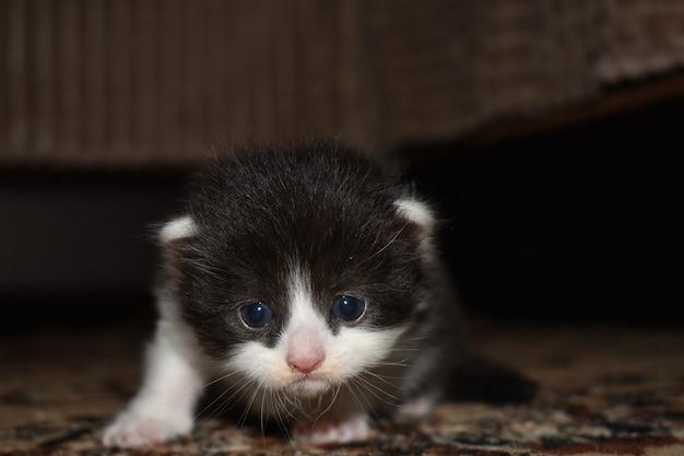 Kleine harige kitten spelen op de bank