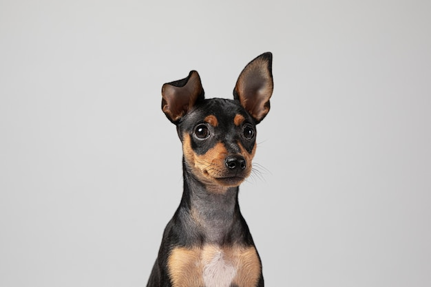 Kleine hond die een schattig portret is in een studio