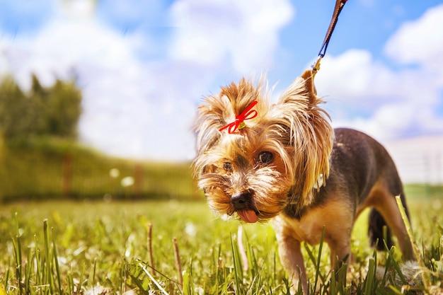 Kleine hond loopt in het park. een portret van een yorkshire terrier