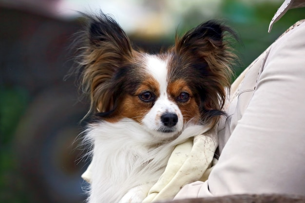 Kleine hond met ruige oren in de handen van vrouwen