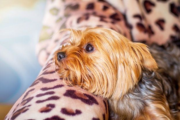 Kleine hond van het ras yorkshire terrier liggend op de bank