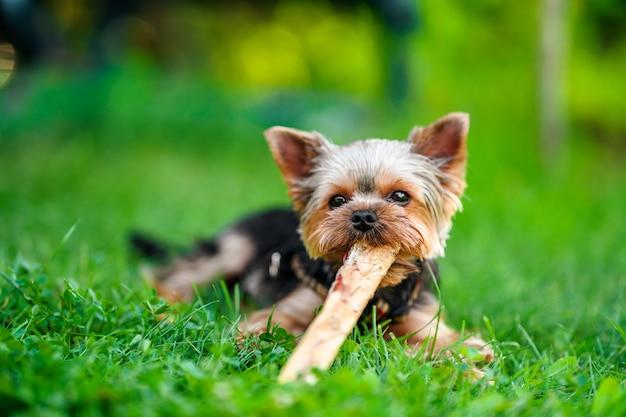 Kleine hond yorkshire terrier op het groene gras dat buiten loopt
