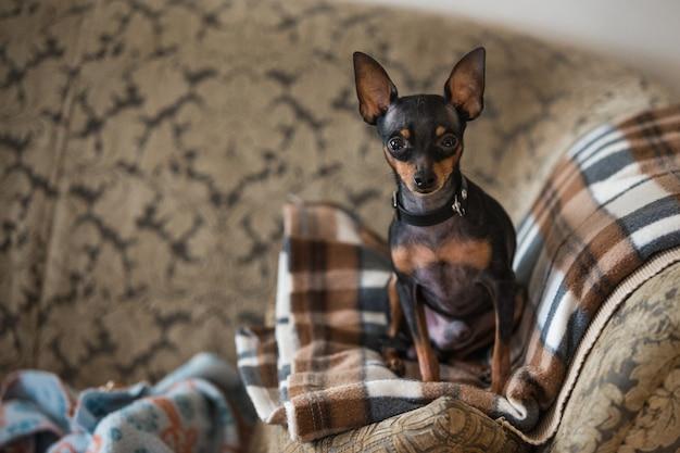 Kleine hond zit op de bank en kijkt naar de camera