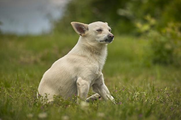 Kleine hond zittend in het gras met een zeer voorzichtige, trotse en onvolmaakte blik, in aanvalspositie.