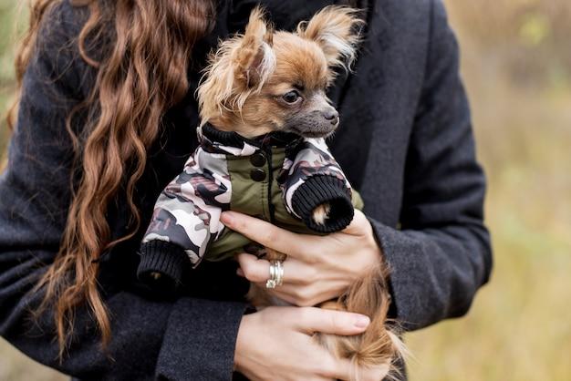 Kleine hondchihuahua in de handen van het meisje