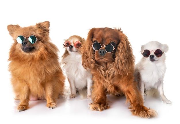 Kleine honden in de studio