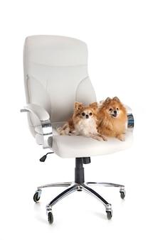 Kleine honden op stoel voor witte achtergrond