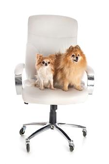 Kleine honden op stoel vooraan op geïsoleerd wit