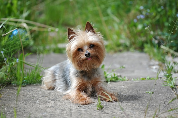 Kleine hondenras yorkshire