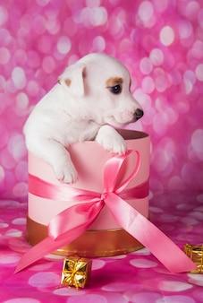 Kleine jack russel terrier puppy in een roze geschenkdoos