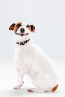 Kleine jack russell terrier-zitting op wit